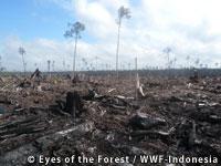 APP社による違法伐採の現場