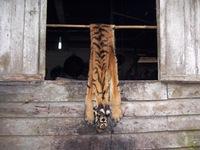 tigerskin120cm_2_Riaufeb2009.jpg