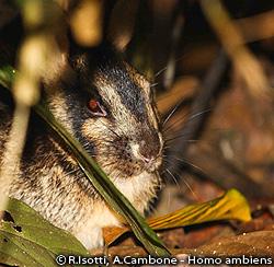 スマトラウサギ(C) R.Isotti, A.Cambone - Homo ambiens