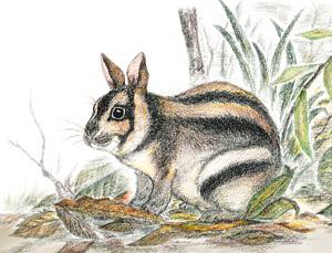 スマトラウサギ(Nesolagus netscheri)