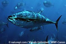 WCPFC北小委員会 太平洋クロマグロ未成魚の漁獲削減で合意