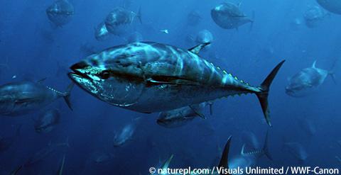 太平洋クロマグロの資源回復を!IATTC会合はじまる