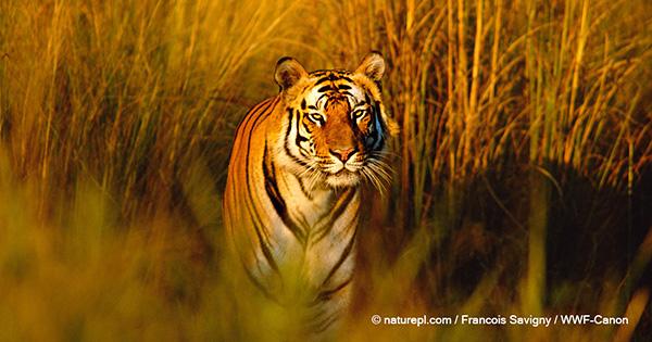 個体数の増加を確認!ブータンで進むトラの保護活動