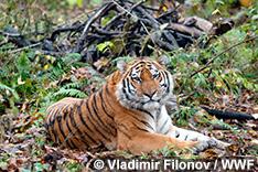 極東ロシアのトラ生息地に新たな国立公園が誕生!