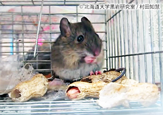 沖縄の幻のネズミ、「種の保存法」による国の保護動物に