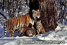 野生復帰したシベリアトラが2頭の仔トラの母親に!