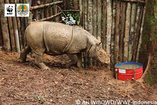 40年ぶり!ボルネオ東カリマンタンでスマトラサイが捕獲される