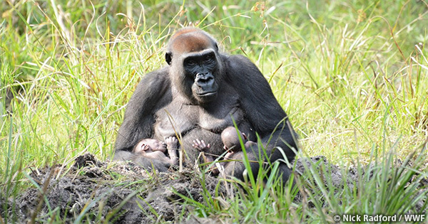 中央アフリカ共和国ザンガ・サンガ保護地域でゴリラの双子が誕生