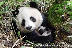 パンダが「危急種」に レッドリストの最新版が公開