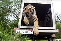 自然の森に帰ったトラ「ウポニー」の新しいすみか