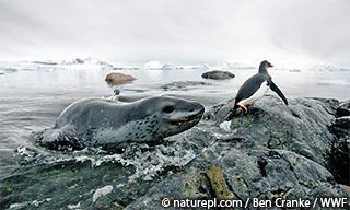 WWF、南極大陸で新種、ナンキョクグマを発見