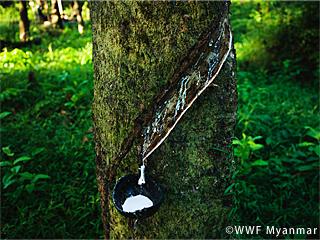 持続可能な天然ゴムの生産と利用