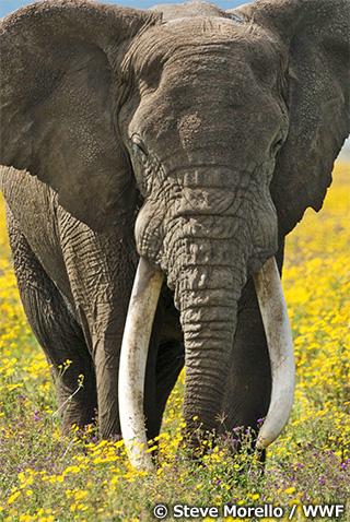 【シリーズ:象牙とアフリカゾウ】野生のアフリカゾウをめぐる現状