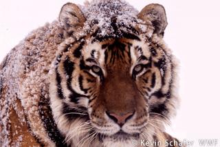 シベリアトラの密猟者に15万ドルの罰金刑  WWFジャパン