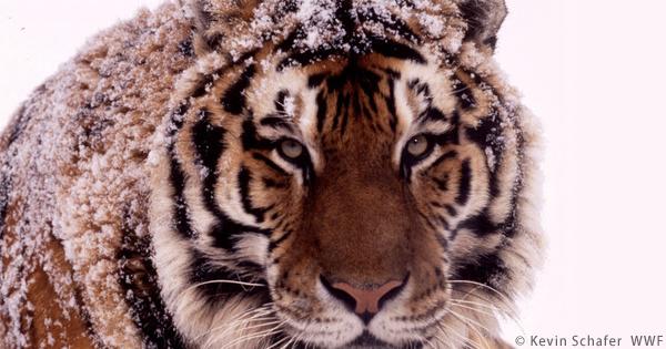 シベリアトラの密猟者に15万ドルの罰金刑イメージ