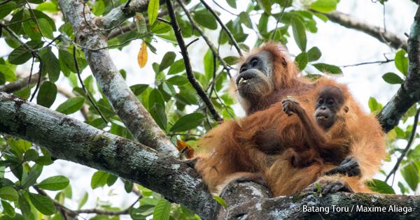 スマトラ島で確認された「第三」の新種オランウータン