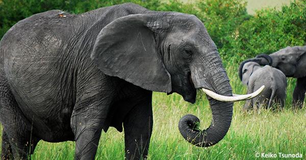 中国が象牙市場を閉鎖 アフリカゾウの密猟を止める最大の転機イメージ