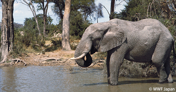 象牙の違法輸出阻止と国内取引の停止を日本政府に要望