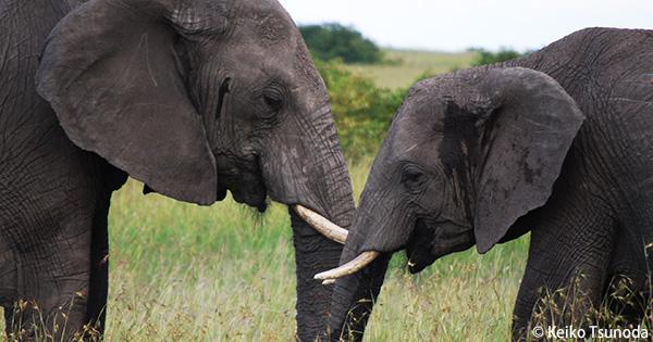 象牙密輸関与の疑いで国内の販売業者が逮捕