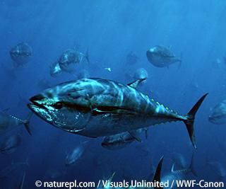 厳しい漁業規制が求められる太平洋クロマグロ IATTC会合報告