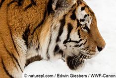 【動画あり】再び森へ!保護されたシベリアトラが野生に復帰