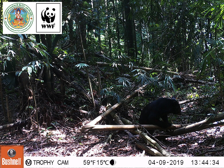 Asian black bear that also inhabits Japan.It is on the Red List, so is Vulnerable (VU).One more species, Malayan sun bear, also inhabits here.