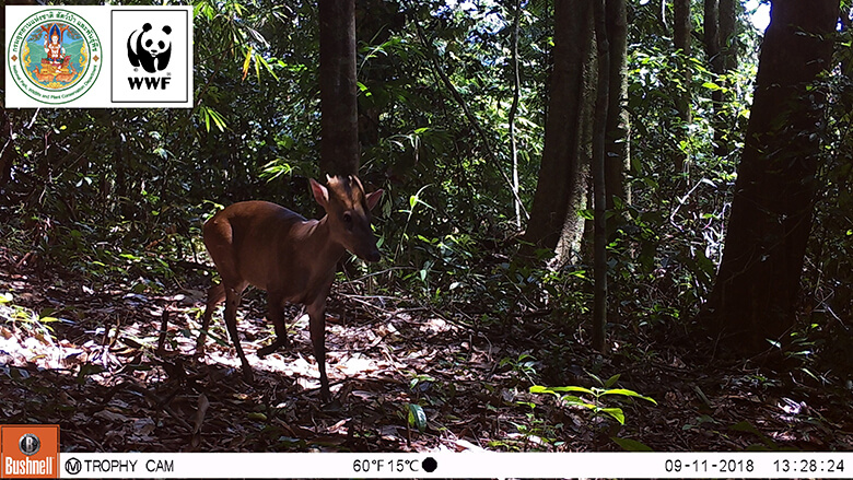 Fea's muntjac. It is one of the valuable wildlife that inhabitants confirmed only at the border areas between Thailand and Myanmar.