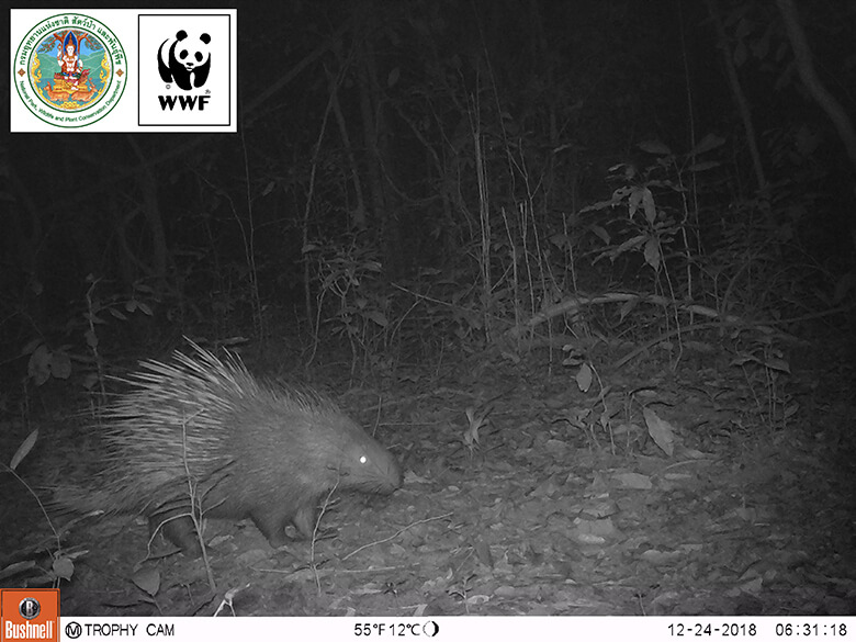 Due to lack of light, photos are taken in black and white at night. Malayan porcupine appeared on Christmas Eve in 2018.