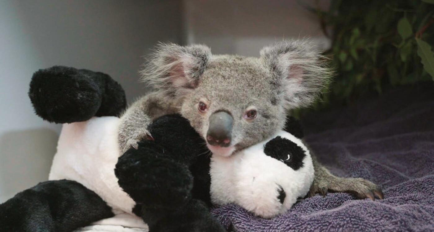 募金 オーストラリア コアラ