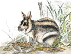 スマトラウサギ