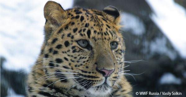 汪清自然保護区、ヒョウとトラの保護活動の現場より