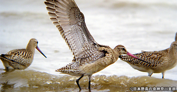 大都市圏に残る渡り鳥たちの水辺をめぐって