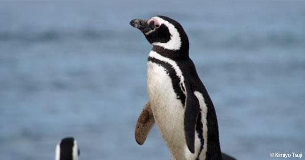 ペンギンたちのすむ入江より