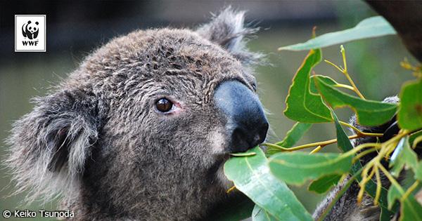 IUCNのレッドリスト更新 スッポンやコアラが絶滅危惧種に