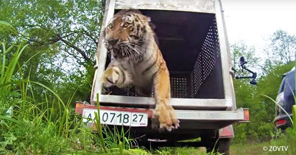 自然の森に帰ったトラ「ウポニー」の死が教えてくれること・・・