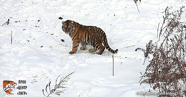 【動画あり】仔トラ、野生復帰に向けリハビリ中!イメージ