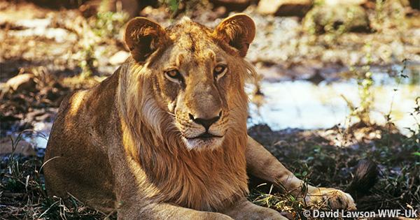 インドのライオンが600頭まで増える